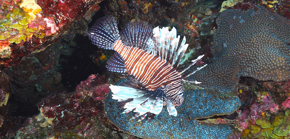 The lionfish is a flourishing invasive species in the U.S