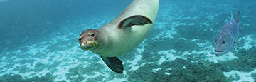 Hawaiian monk seal swimming underwater