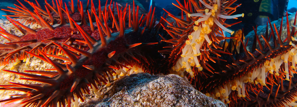 close-up of crown-of-thorns starfish