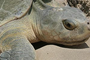 an endangered Kemp's ridley turtle