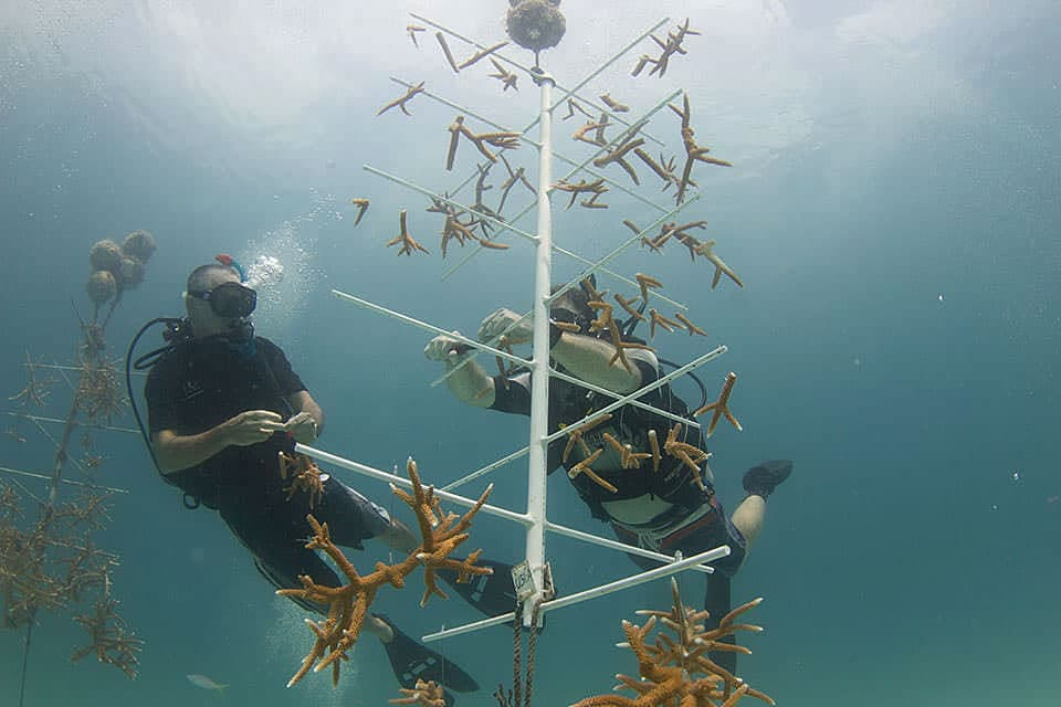 Coral 'farmers' tend to small, found corals anchored to an underwater structure.
