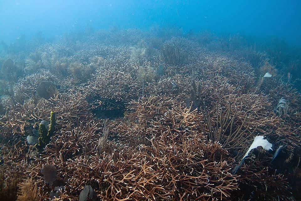 This is a photo of the Tallaboa reef in 2015. Restorers stabilized rubble, reattached broken corals and rebuilt the reef with coral transplants from nurseries.