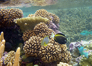 Colorful reef fish swim among vibrant corals in the Pacific Remote Islands Marine National Monument