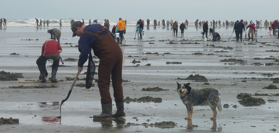 people digging clams on the beach in Washington State
