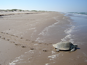 Kemp's Ridley sea turtle tracks at Padre Island National Seashore (Courtesy: National Park Service).
