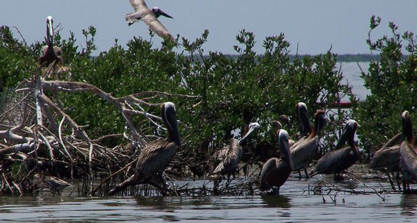 Restoring sensitive habitats for wildlife, such as this oiled pelican rookery in Barataria Bay, Louisiana, is a typical Early Restoration activity
