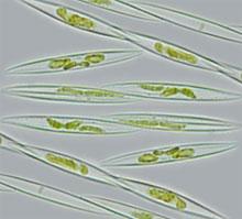 microscopic alga