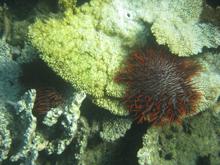 Corona de espinas de coral devorando estrellas de mar