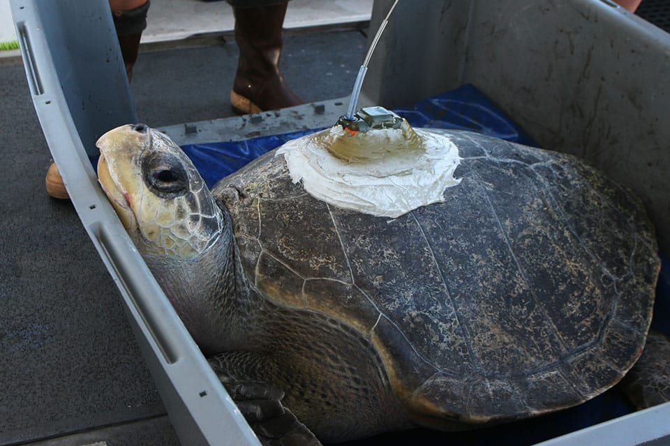 a sea turtle with a tracking device on its shell on a boat, before it is placed back in the ocean