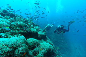 Several scuba divers swim alongside a reef covered in Madracis corals and swarming with fish