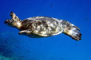 A sea turtle swimming off of the Hawaiian islands