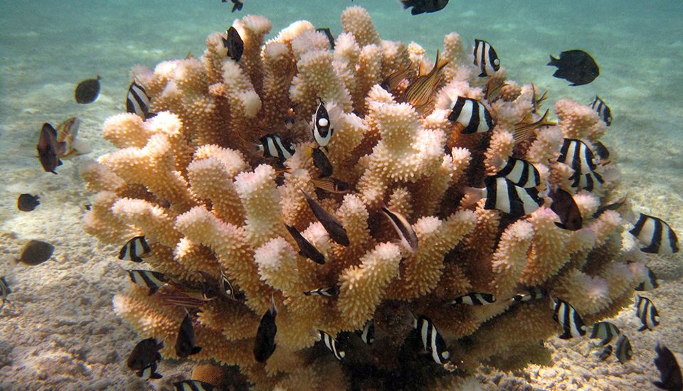 Several species of reef fish nestle in a cauliflower coral in American Samoa