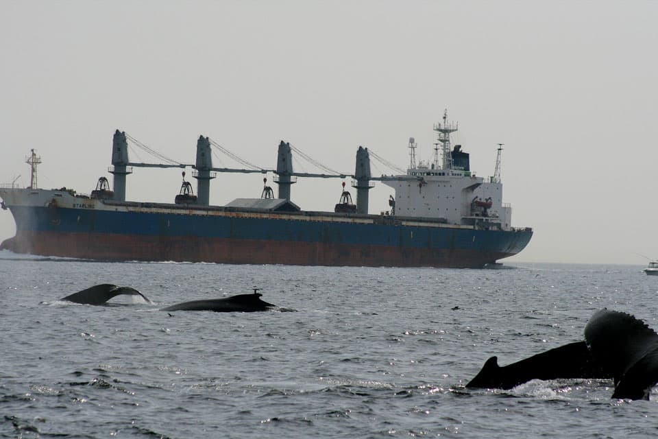 whales near a large ship in Stellwagen Bank National Marine Sanctuary
