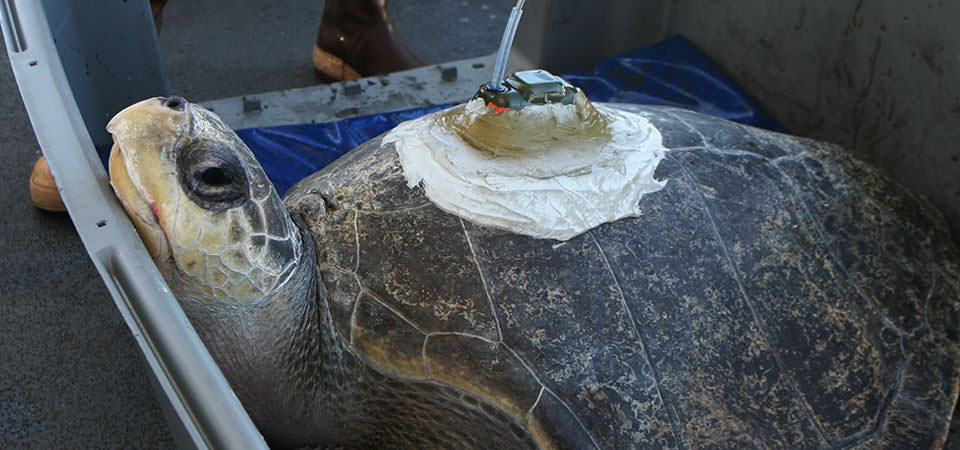 olive ridley turtle with telemetry device