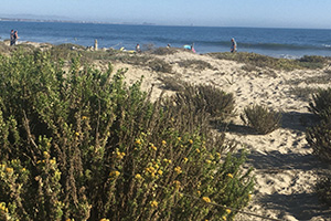 View of restored dunes at the Surfers' Point Managed Shoreline Retreat Project. Photo credit: Paul Jenkin